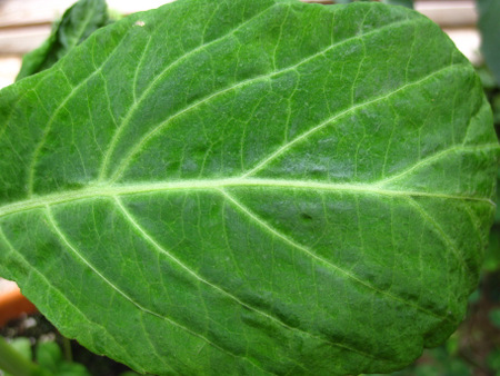 Salvia divinorum plant leaf close-up showing green irridescence