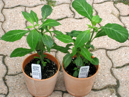 Healthy organic Salvia divinorum plants growing outside with no need for a humidity tent